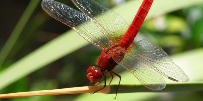 Dragonfly - Insect Common Skimmer