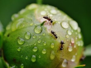 Ant Control - Croach - Portland, Oregon - Types of Ants in Portland