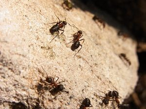 Ant Control - Croach - Kirkland, WA - Carpenter Ants on Wood