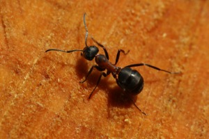 Ant Control - Carpenter Ants - Croach - Kirkland, WA - Ant on orange background