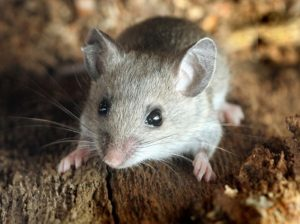 Deer Mice Control - Croach Rodent Control - rodents in the house - gray mouse