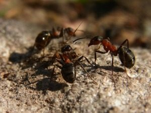 Types of Ants - Ant Control - Croach - Seattle, WA - Formica Ants in Washington on Rock