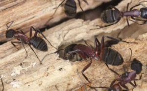 Carpenter Ant Control - Croach - Kirkland, WA - Ant Colony in Wood