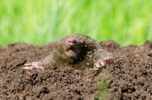 Seattle Moles - Yard Mole Removal - Croach - Seattle, WA