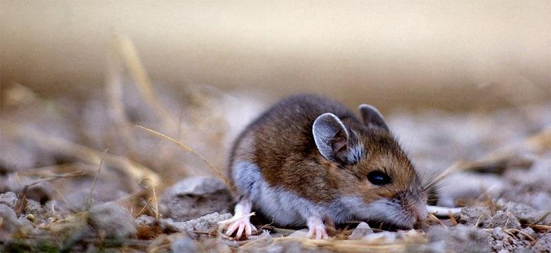 Deer Mice - Rodent Control - Croach Seattle Portland Denver 800