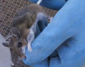 Deer Mouse - Hantavirus Infected - Croach Deer Mice Control 300