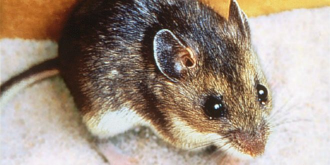 Rodent Control - Get Rid of Mice and Rats - Croach Pest Control