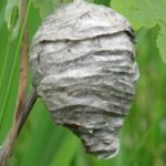 Bee Control - Bees of Seattle - Croach - Kirkland, WA - Hornet wasps nest