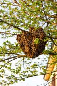 Bee Wasp Removal - Croach - Kirkland, WA - Swarm of bees in tree