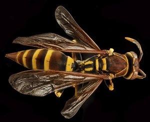 Pest Control - Bees of Seattle - Croach - Kirkland, WA - European Hornet