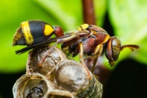 Pest Control - Croach - Kirkland, WA - Types of Wasps - Asian wasp on nest