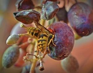 Pest Control - Croach - Kirkland, WA - Wasp Yellow Jackets Eating Ripe Grape