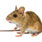 Mouse Control - Croach - Kirkland, WA - Field House Mouse