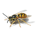 Pest Control Contractors - Croach - Tacoma, WA - Bug Phobias - Wasp