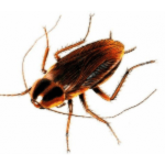 Pest Removal - Spokane, WA - Croach - Bug Phobias - Cockroach