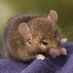 Rodent Control - Croach - Kirkland, WA - Brown House Mouse