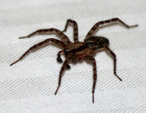 Spider Control - Croach - Kirkland, WA - Brown House Spider