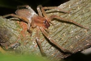 Spider Control - Croach - Kirkland, WA - Brown Recluse Spider