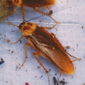 Cockroach Pest Control - Croach - Spokane, WA - Cockroaches with feces