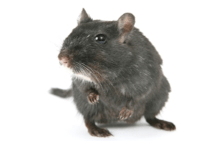 Rodent Control - Facts About Rats - Croach - Tacoma, WA - Gray Rat