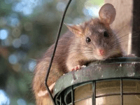 Mouse Control - Croach - Seattle, WA - Roof Rat sitting on hanging lantern
