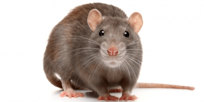 Rat Control - Croach - Portland, OR - Brown Rat on White Background