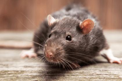 Rat Extermination - Croach - Beaverton, OR - Brown Rat Sitting on Board