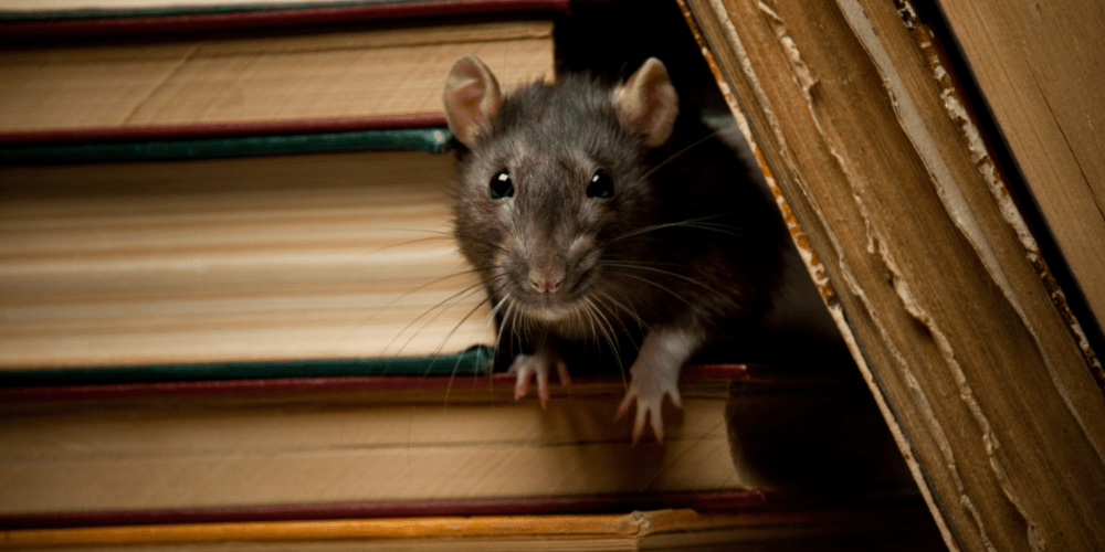 Rat Removal - Rat Control - Croach - Portland, OR - Rat peeking out from bookcase