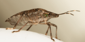Stink Bug Control - Croach - Beaverton, OR - Close up view of stink bug