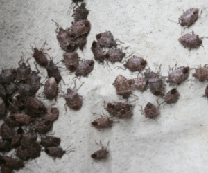 Stink Bug Control - Croach - Beaverton, OR - Cluster of stink bugs