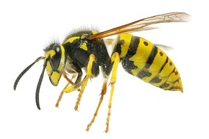 Bee Removal - Wasp Control - Croach Pest Control