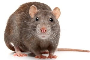 Rodent Control - Get Rid of Rats - Mouse Control - Croach