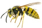 Wasp Control - Bee Removal - Croach Pest Control