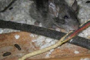 Pest Control - Croach - Columbia, SC - Rat Mouse Chewing on house wiring