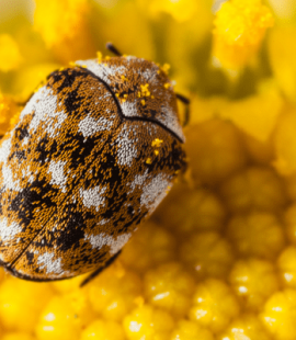 Pest Control - Varied Carpet Beetle on Daisy - Croach