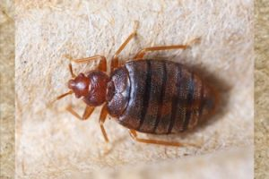 Bed-Bugs-Croach-Pest-Control-sm