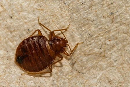 Bedbug Control Near Seattle Wa How To Get Rid Of Bed Bugs Croach