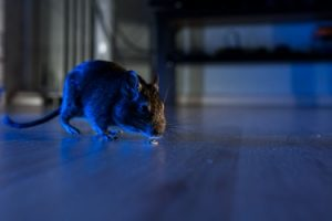 Get Rid of Rats and Mice - Croach Pest Control