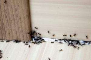 How-to-Get-Rid-of-Ants-Ant-Control-sm