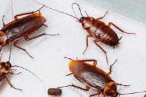 Pest-Control-Croach-cockroaches-sm