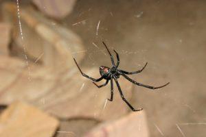 black-widow-spider-control