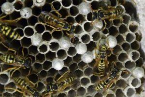 wasp-nest-sm
