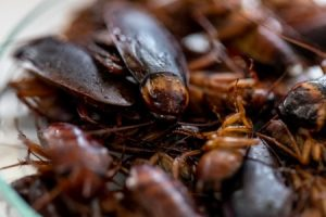 Group of Cockroaches